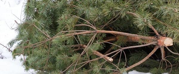 Штраф за срубленную елку в Украине